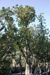 Arbustus unedo | vivaicantatore.com