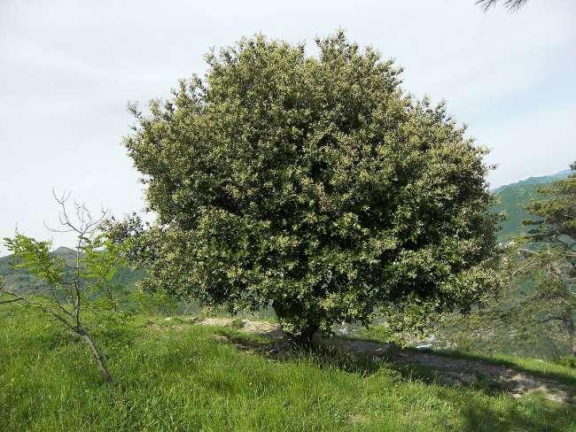 Piante a prova di freddo il leccio quercus ilex for Quercia sempreverde