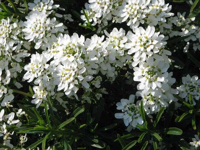 Piante Vaso Esterno Inverno : Iberis sempervirens una pianta coraggiosa e semplice da