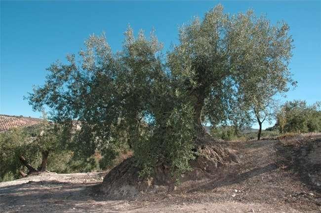 La xylella fastidiosa uccide ulivi secolari in Puglia | vivaicantatore.com/