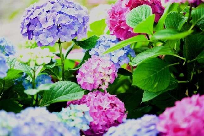 Ortensie verde significato bouquet di ortensie sposa - Ortensie colori ...
